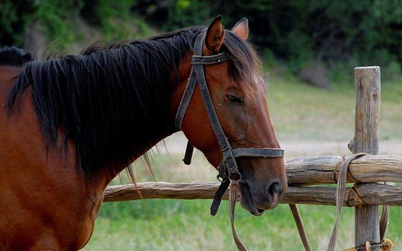 Лошади могут спать стоя