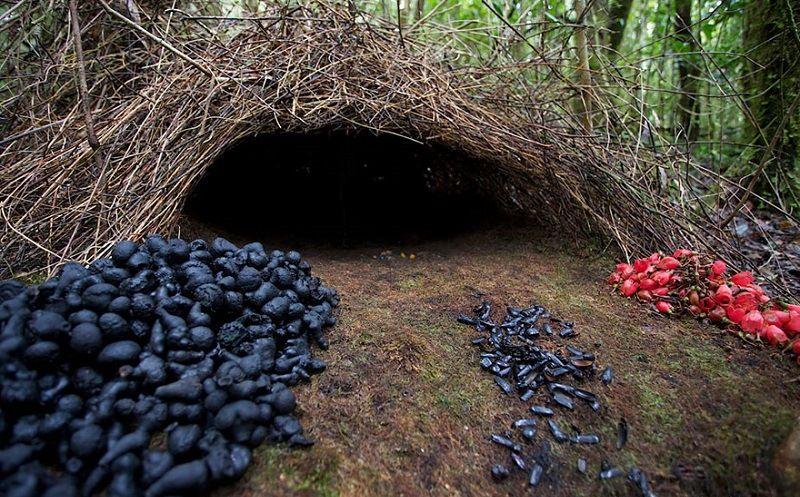Гнездо шалашника