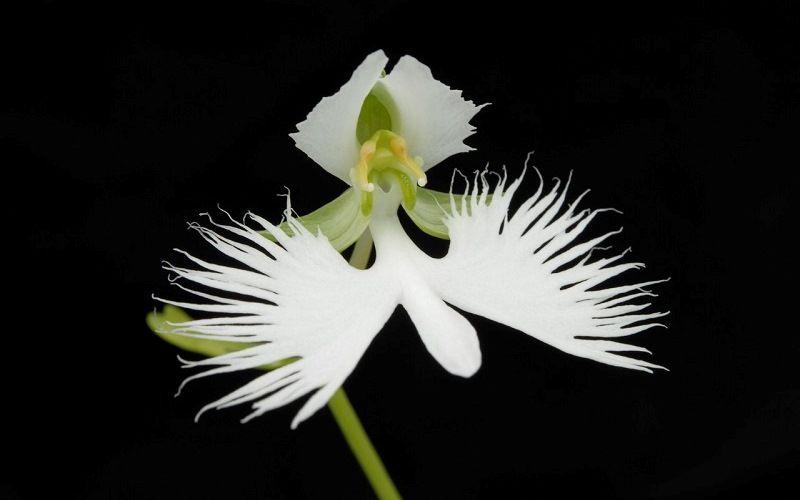 Орхидея Большая белая цапля