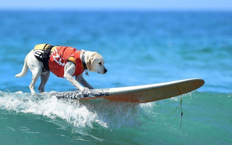 Собака - серфингист