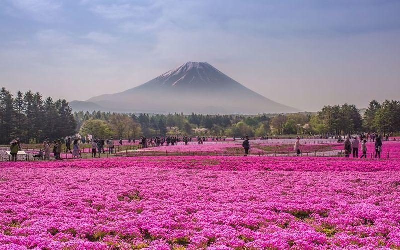 Цветущие поля шиба-закуры