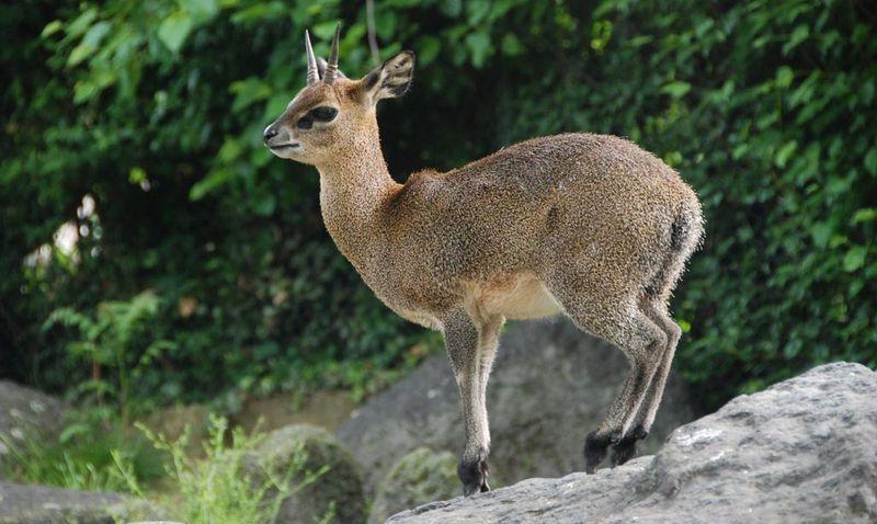 Антилопа-прыгун