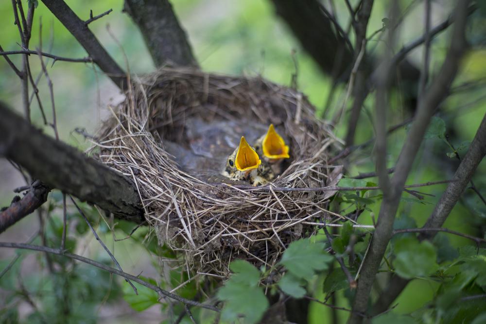 птенцы в гнезде
