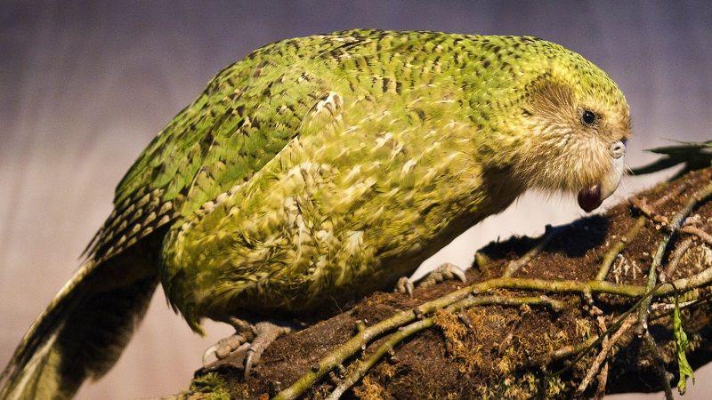 Исчезающий вид какапо из Новой Зеландии