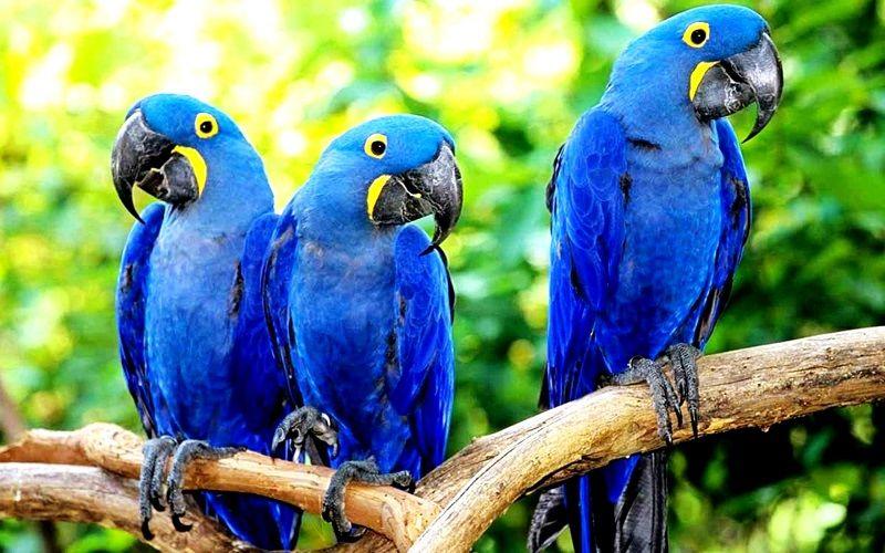 Самый дорогой попугай – гиацинтовый ара