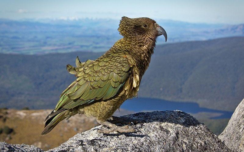 Высокогорный попугай кеа из Новой Зеландии