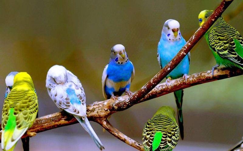 Самый скоростной – волнистый попугайчик