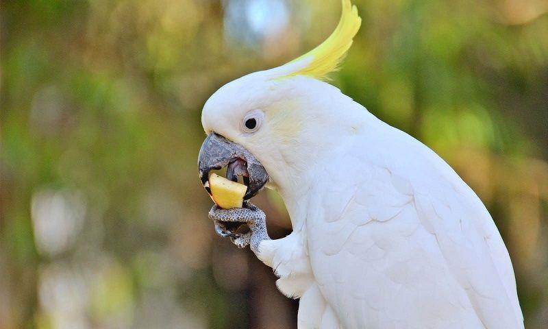 Попугай берет еду лапой