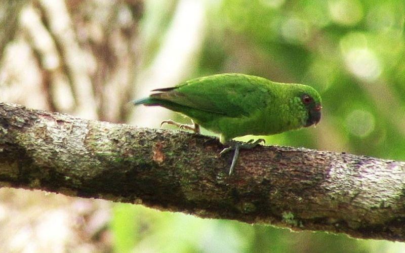 Дятловый попугай Папуа-Новой Гвинеи