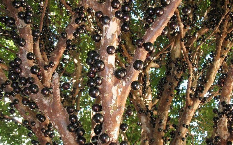 Удивительное дерево жаботикаба