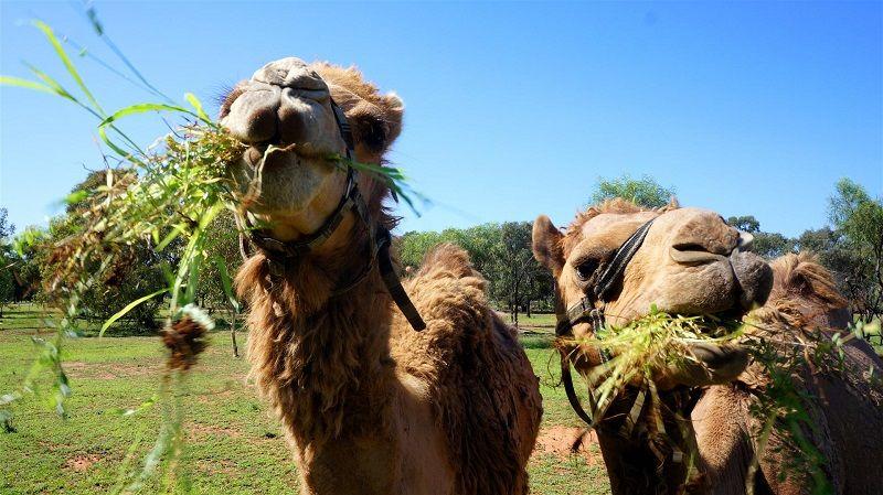 Чем питается верблюд