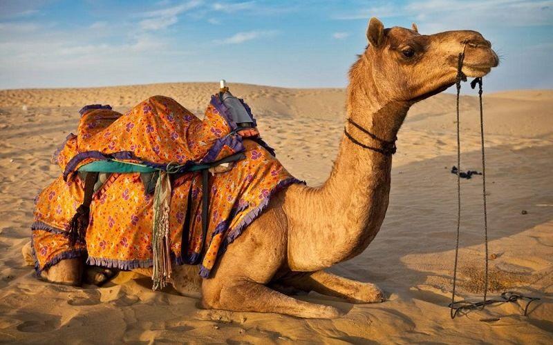 Верблюд на отдыхе