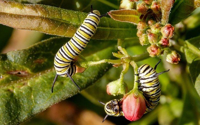 Гусеницы бабочки Малого Монарха