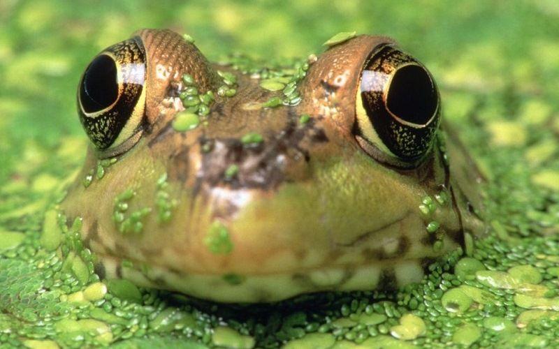 Глаза лягушки