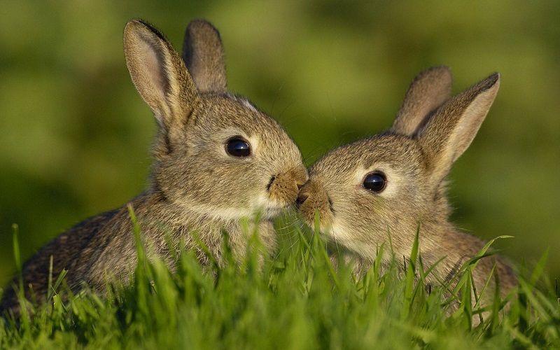 Как общаются зайцы между собой