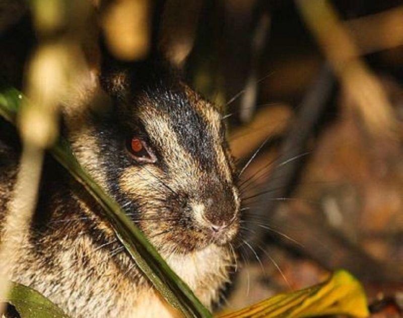 Суматранский заяц