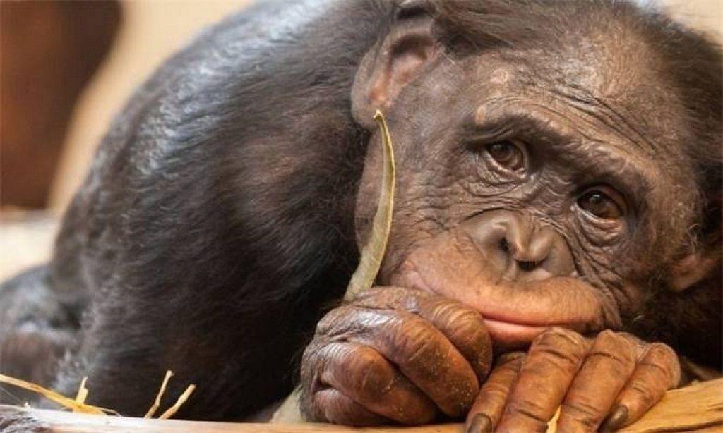 Живая обезьяна