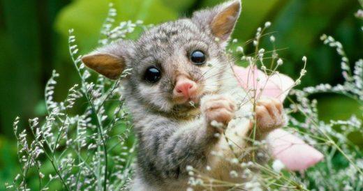 Австралийский лисий кузу
