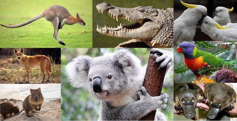 Удивительные животные Австралии