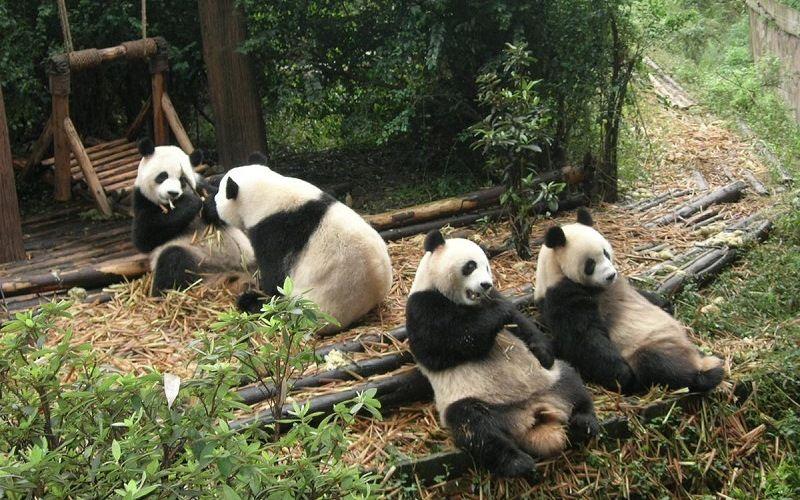 Большие панды в Чэнду