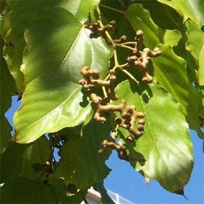 говения сладкая или конфетное дерево