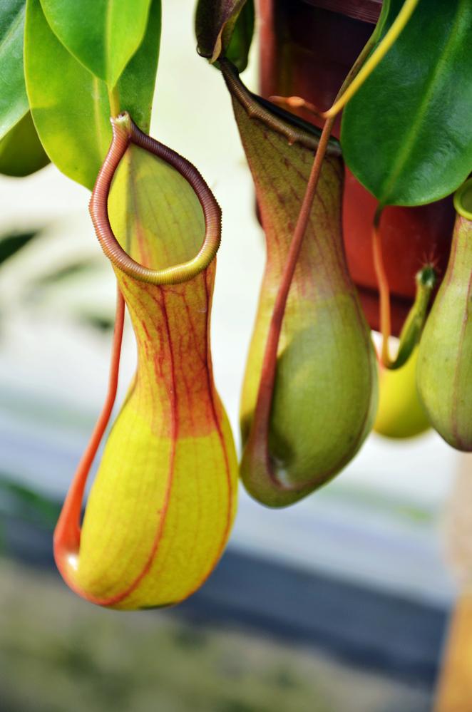 растение непентес