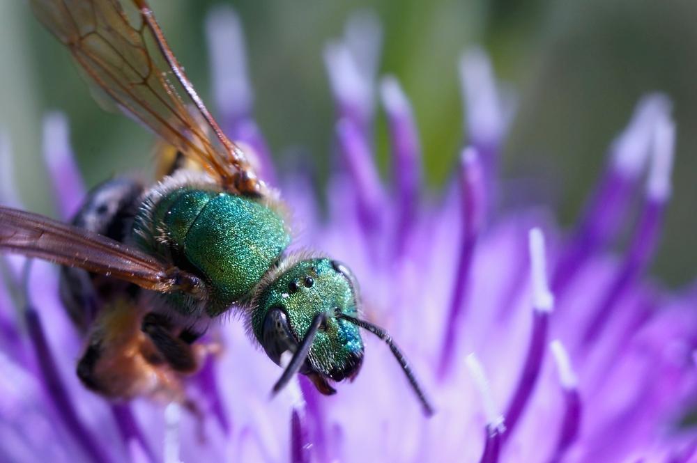 орхидная пчела