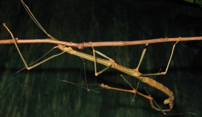 палочник насекомое