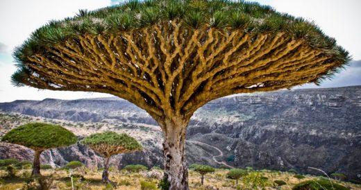Драконовое дерево