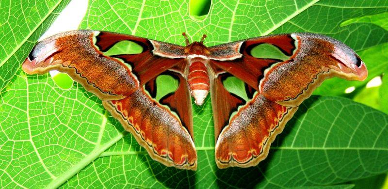Самое большое насекомое - Павлиноглазка Атлас
