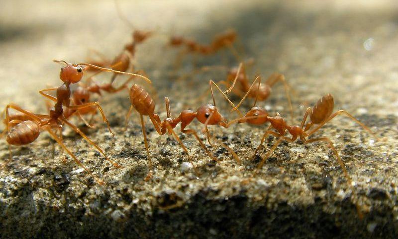 Муравейник огненных муравьев