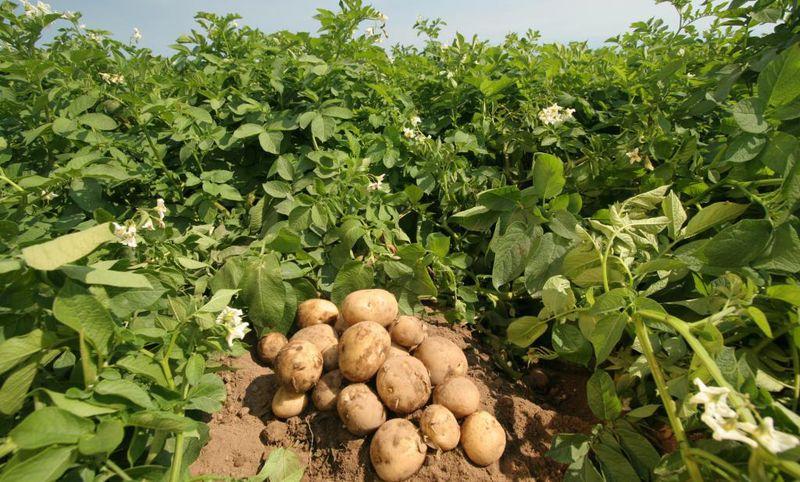 Метод Гюлиха при выращивании картофеля