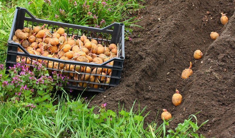 Голландская технология при выращивании картофеля