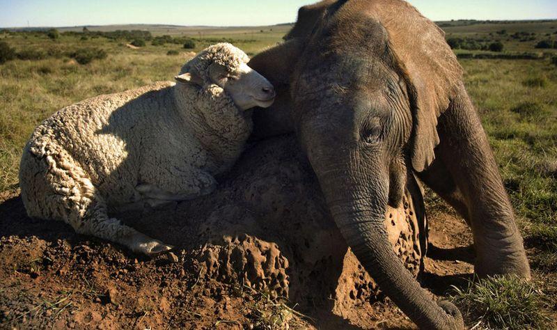 Овца Альберт и слоненок Темба