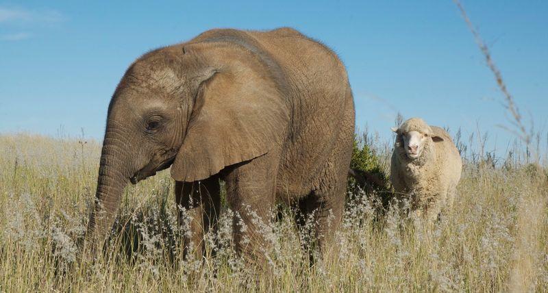 Дружба слоненка и овцы