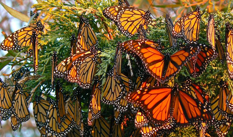 Бабочки монарх
