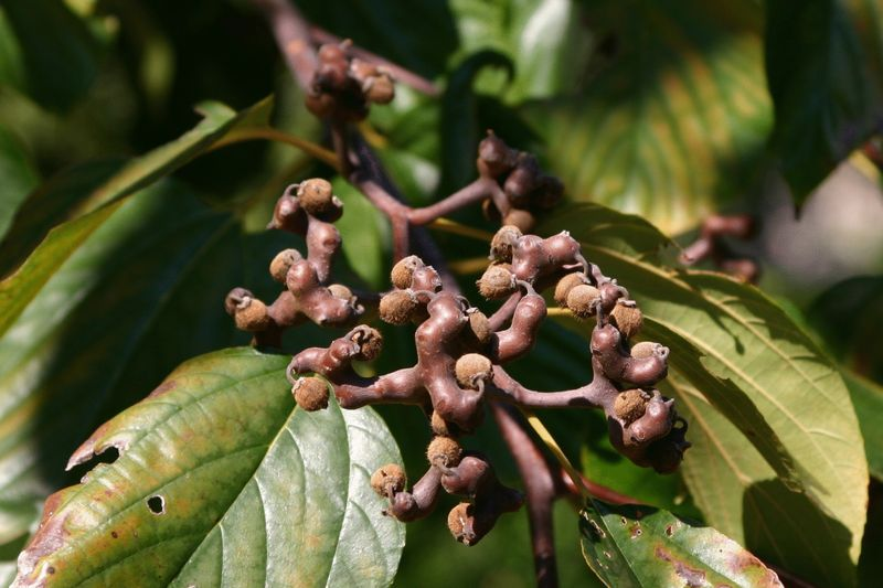 Конфетное дерево (Говения сладкая)