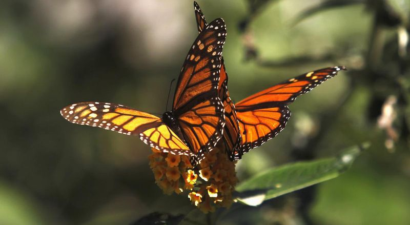 Данаиды - перелетные бабочки