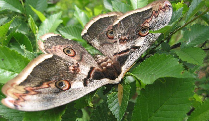 Переборчивые бабочка - ночной павлиний глаз