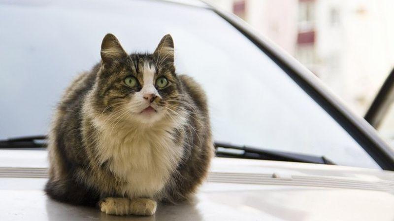 Кошка из Новосибирска