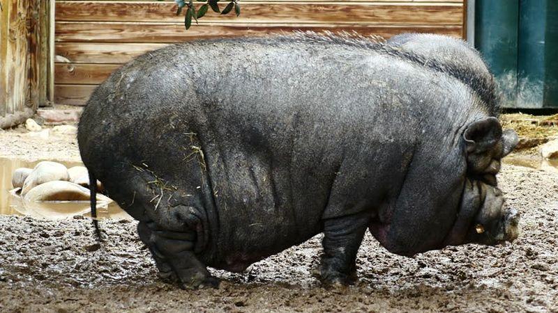 Домашняя свинья Лулу