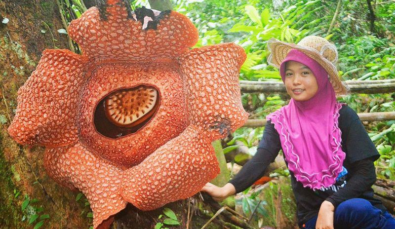 Самый большой цветок - Раффлезия Арнольди