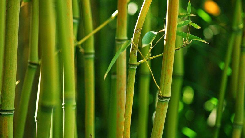 Бамбук кольцевой