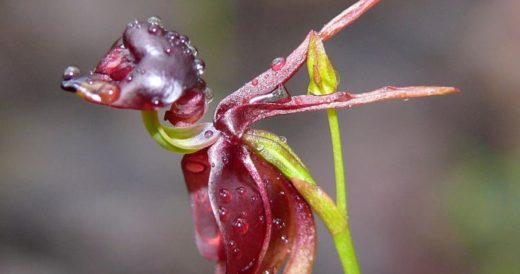 Орхидея калания