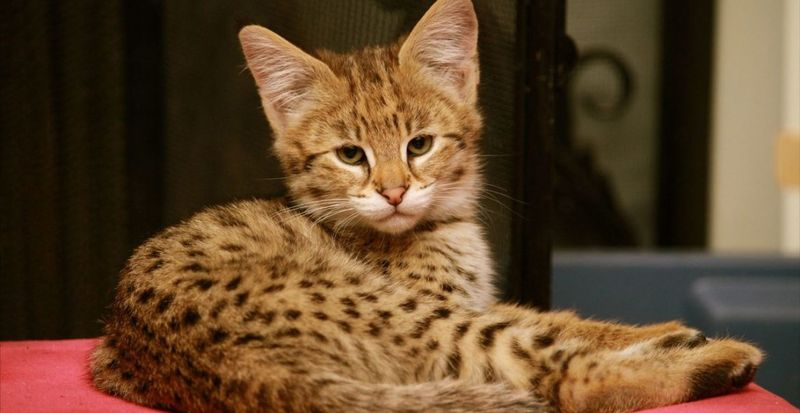 The Savannah cat