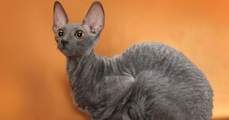 Cornish Rex cats