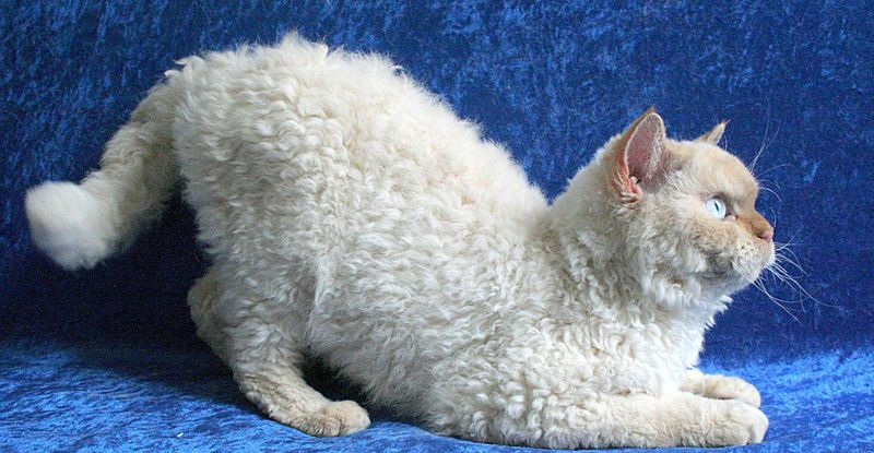 The Selkirk Rex