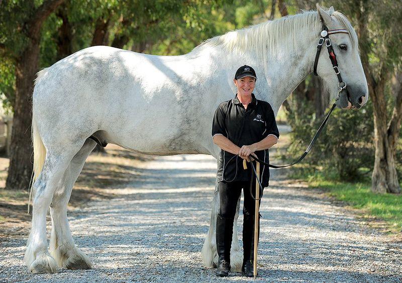 Самая высокая лошадь в мире Люскомб Нодрам