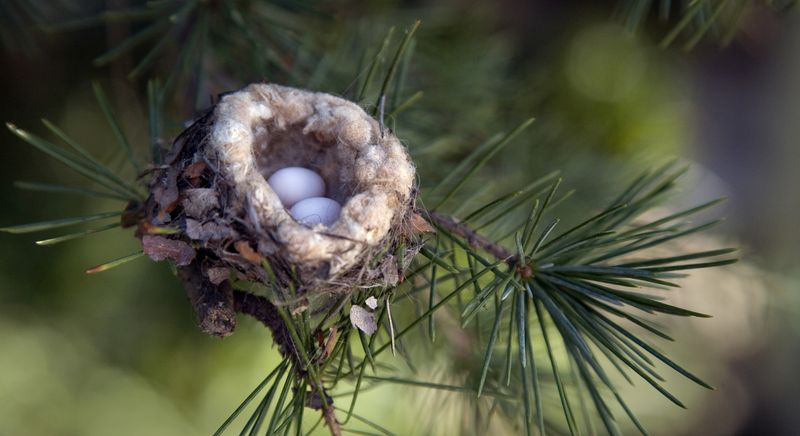 Яйца колибри