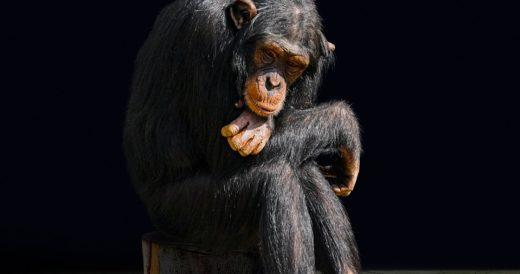обезьяна думает над загадкой